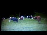 Счастливейшие, спасенные из скотобойни, 25 коров!!! happy free cows! it's rare